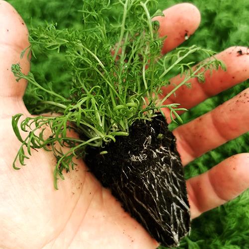 Artemis_Aktuelles vom Bio Hof_Artemisia annua Jungpflanze